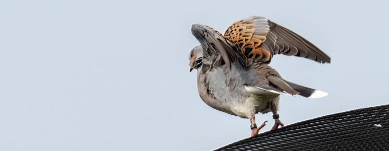 Eds-Turtle-Dove-23-May--153794--copy